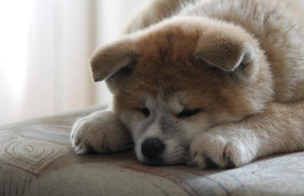 pes Akita Inu